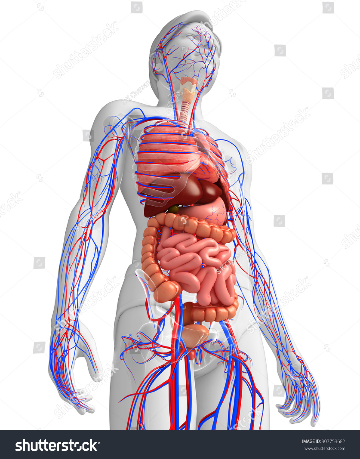Digestive Circulatory System Male Body Artwork Stock Illustration