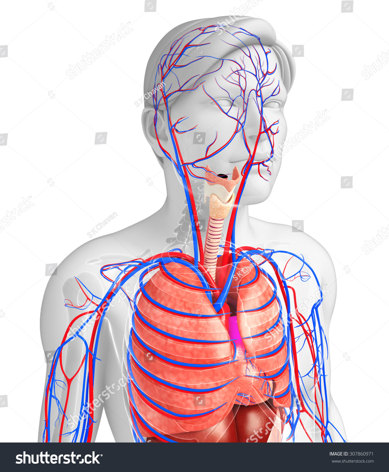 Illustration Male Respiratory Circulatory System Stock Illustration