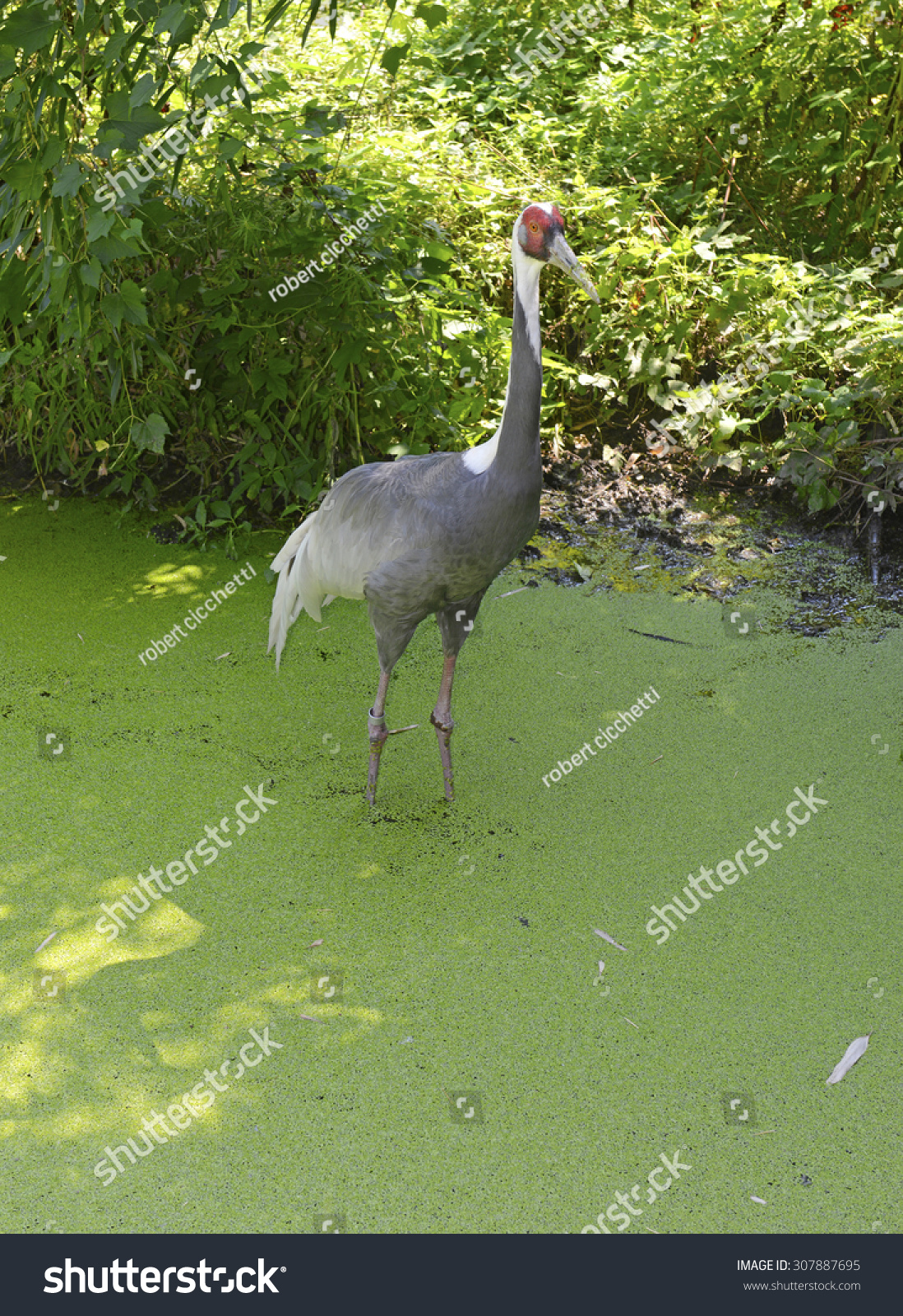 White-naped Cranes native to Asia,… Stock Photo 307887695