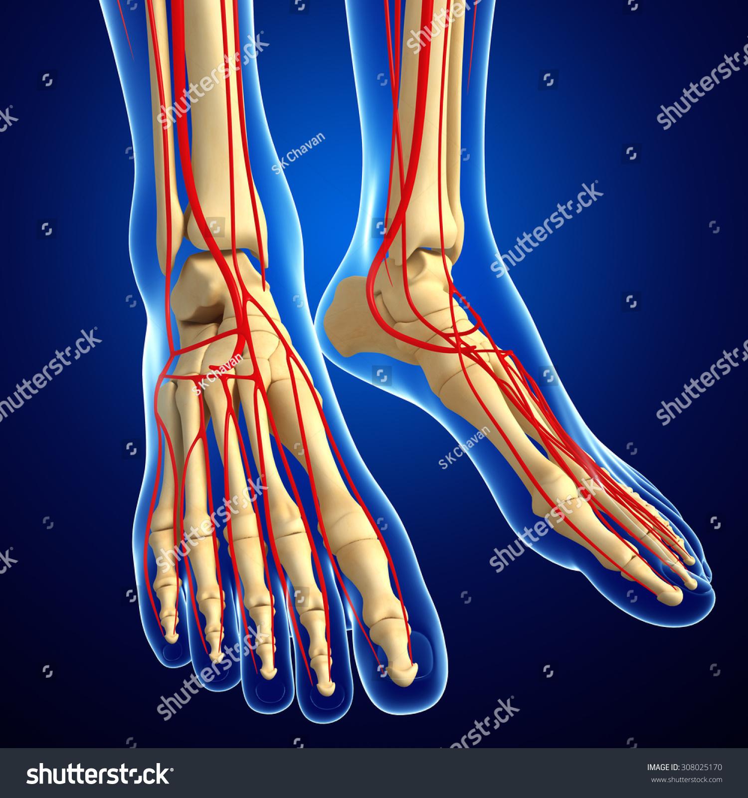 3d Rendered Illustration Of Leg Skeletal Anatomy Ez Canvas