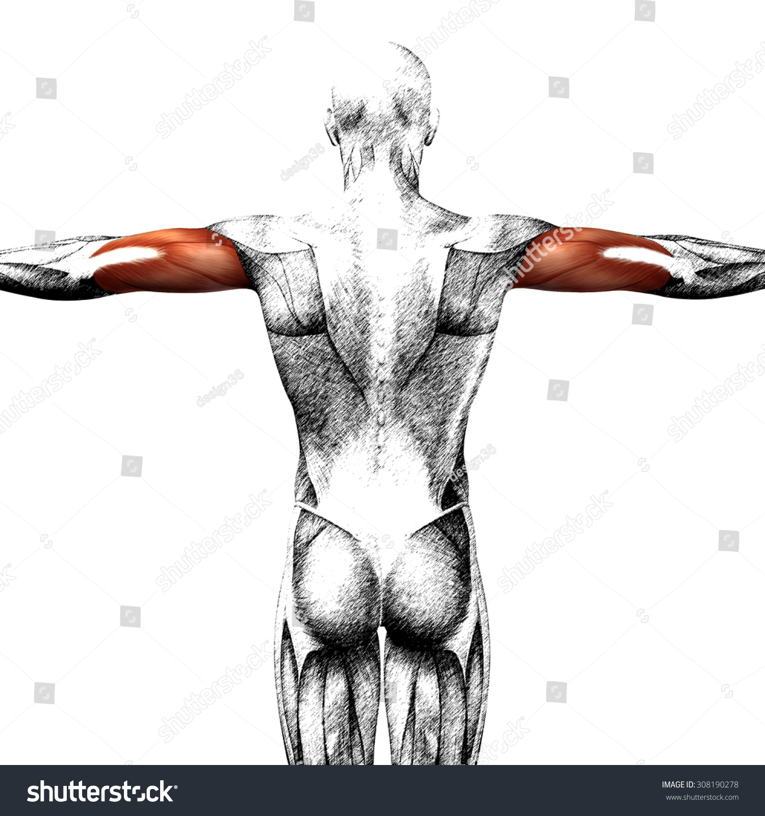 Conceptual 3 D Triceps Human Anatomy Anatomical Stock Illustration ...