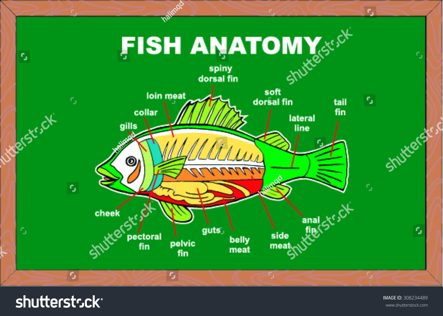 Fish Anatomy Vector Illustration Stock Vector (2018) 308234489 ...