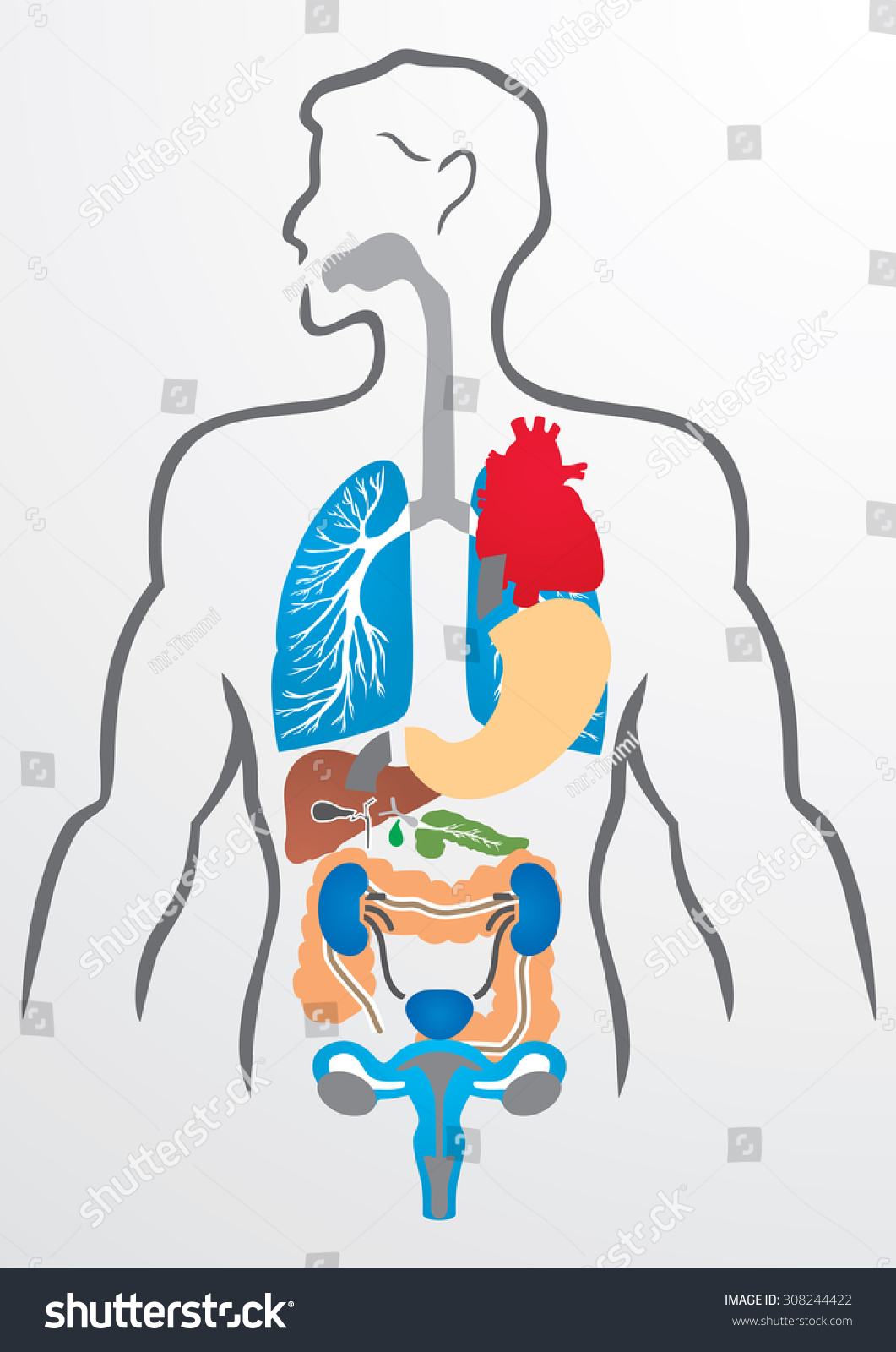 Human Organs Human Body Illustration Stock Vector (Royalty Free ...