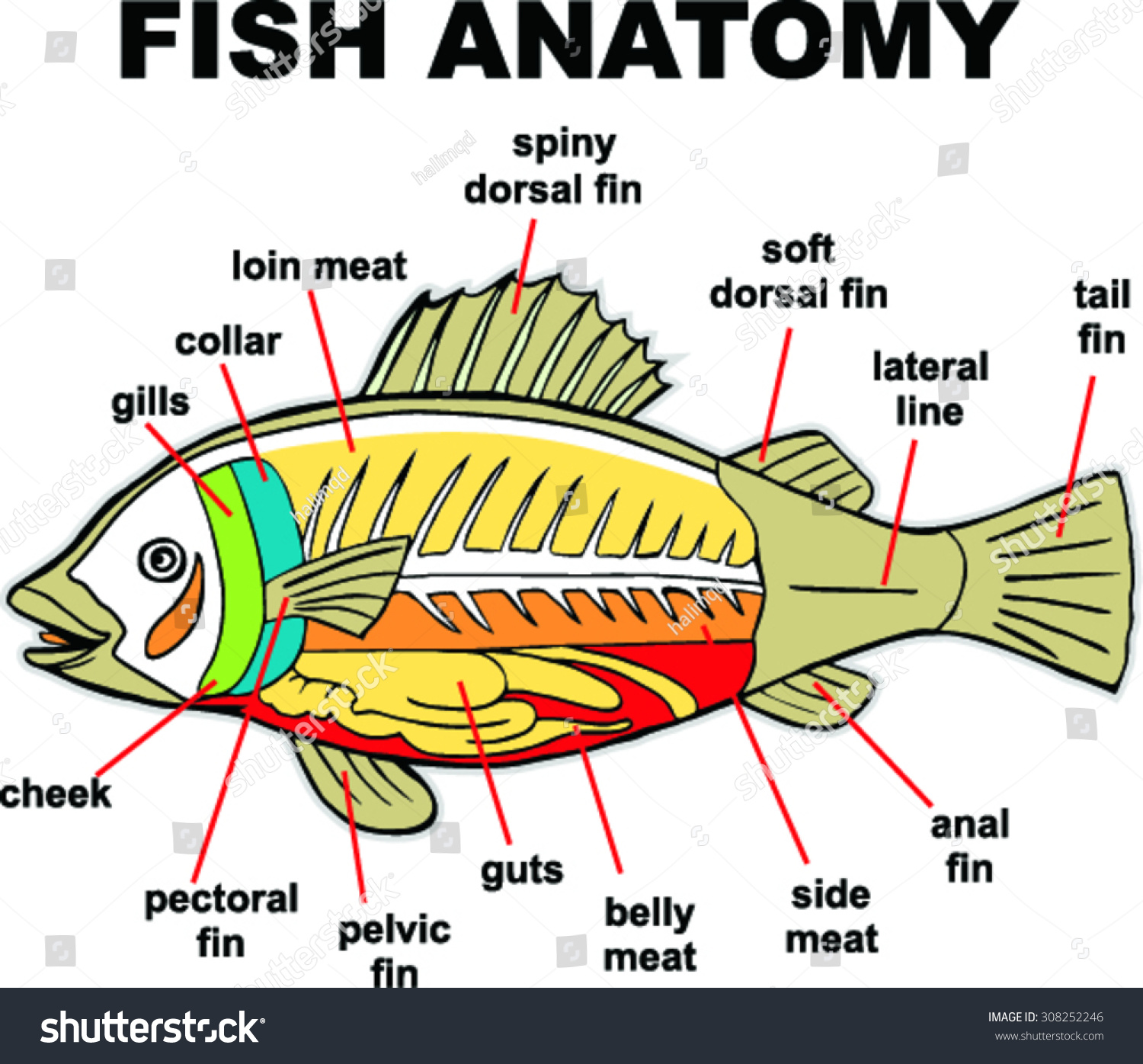 Fish Anatomy Vector Illustration Stock Vector HD (Royalty Free ...