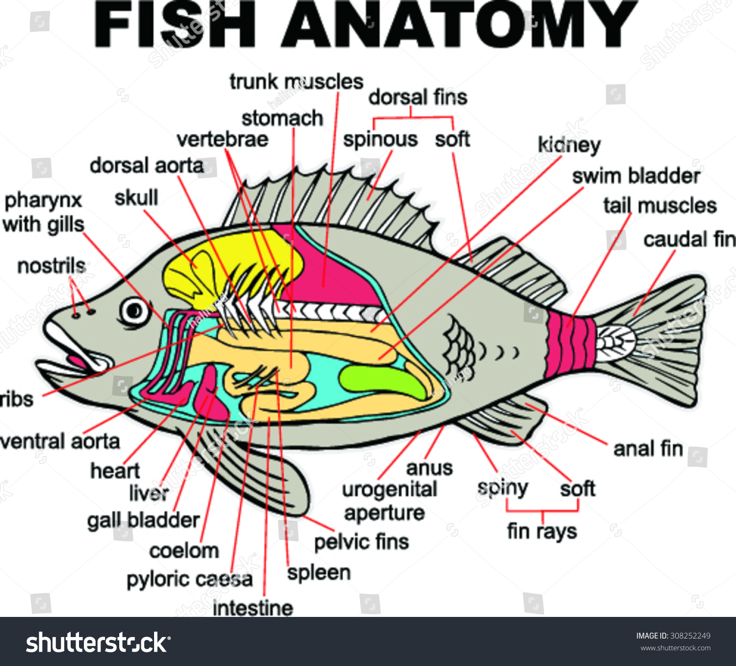 Fish Anatomy Vector Illustration Stock Vector (Royalty Free ...