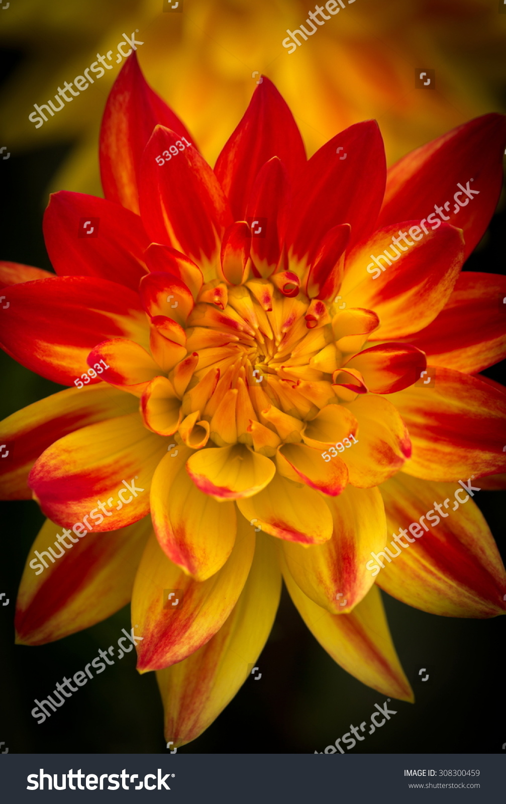 Closeup Of A Beautiful Dahlia Flower In Yellow And Red With Dark