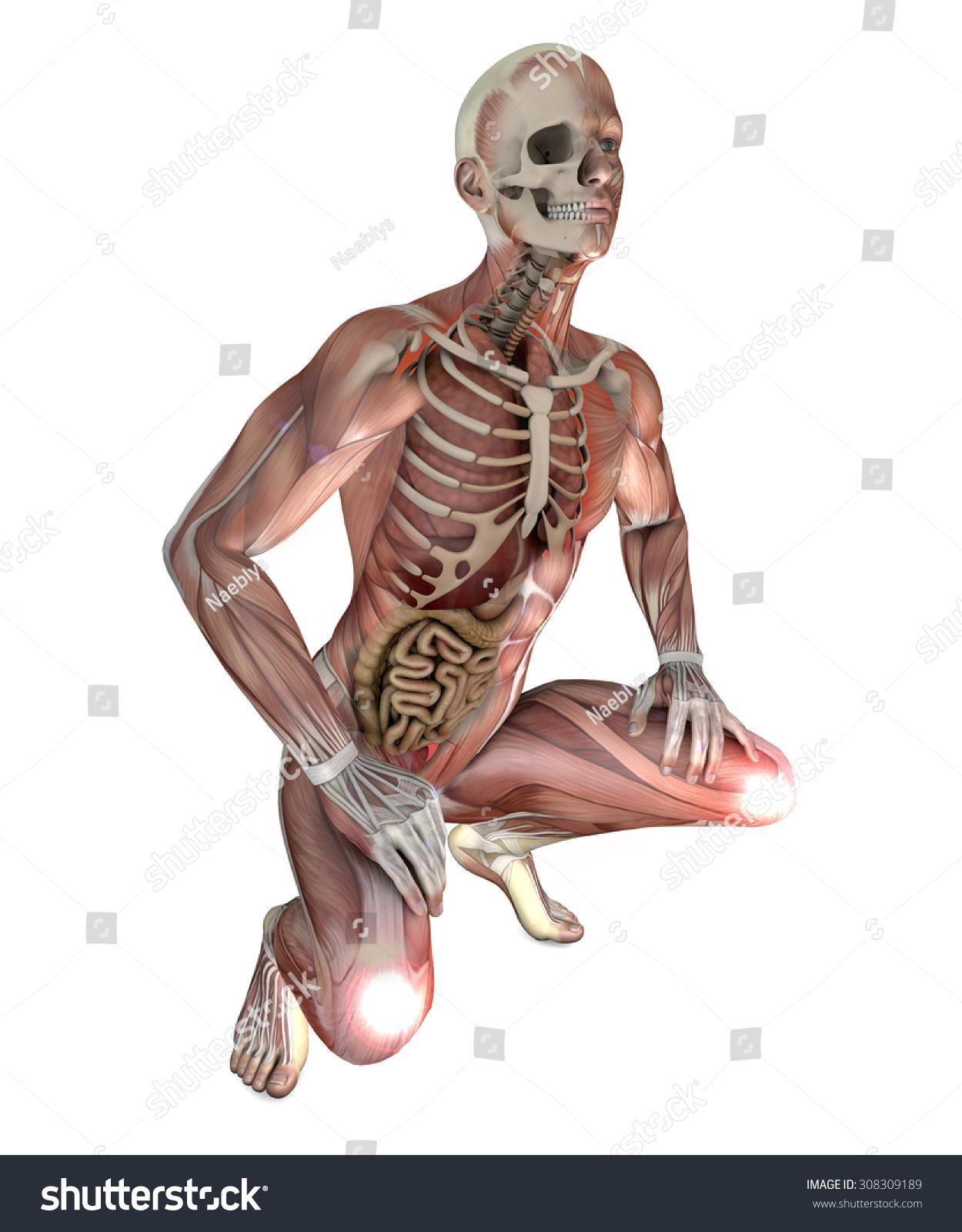 Male Body Skeletal Muscles Organs Stock Illustration 308309189