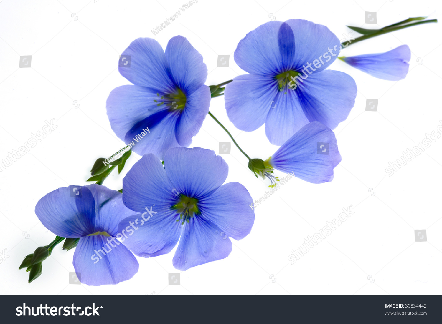 Blue Flowers On White Background Stock Photo Edit Now 30834442