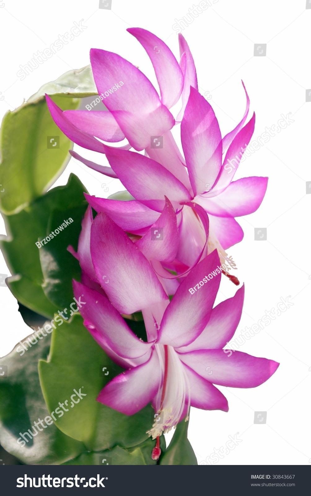 Pink Flowers Succulent Plant Stock Photo Edit Now 30843667