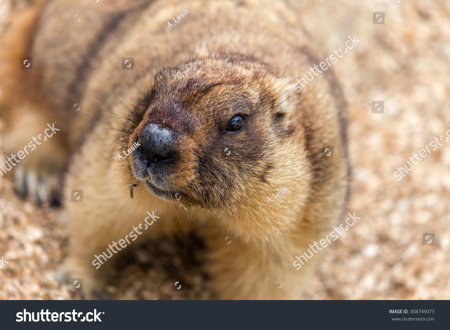alpine marmot marmota marmota aviary zoo stock photo 308749073