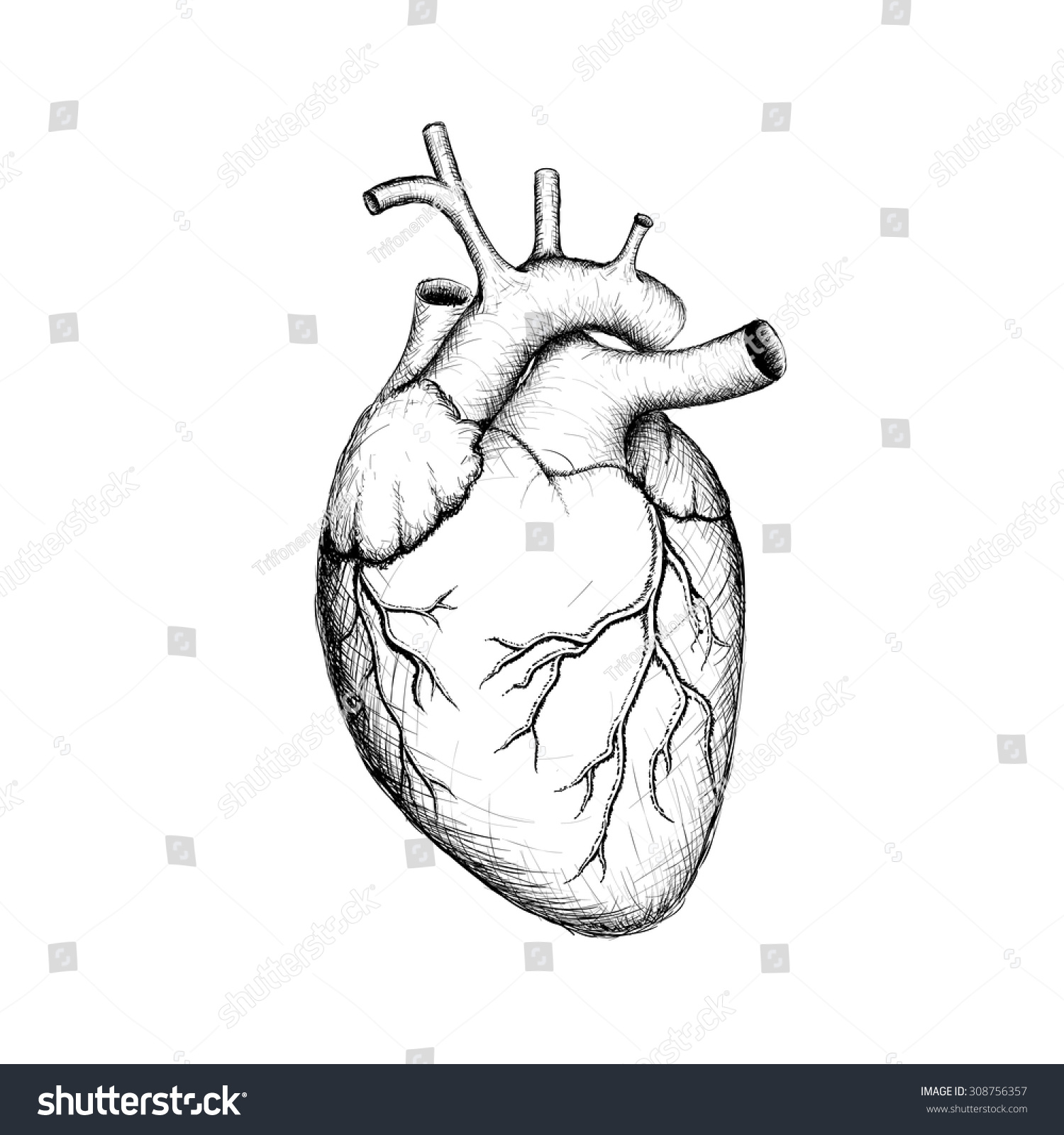 Royalty Free Human Heart Internal Organs Anatomy 308756357