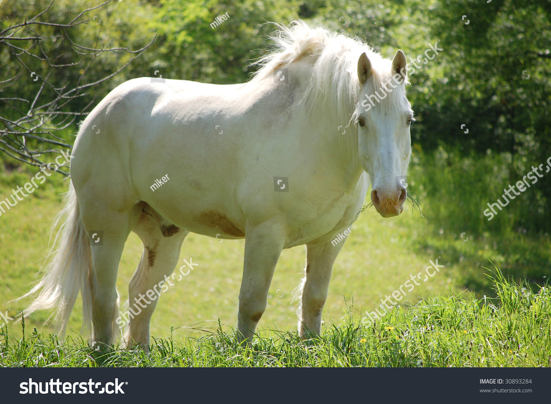 White Draft Horse Stock Photo Edit Now 30893284