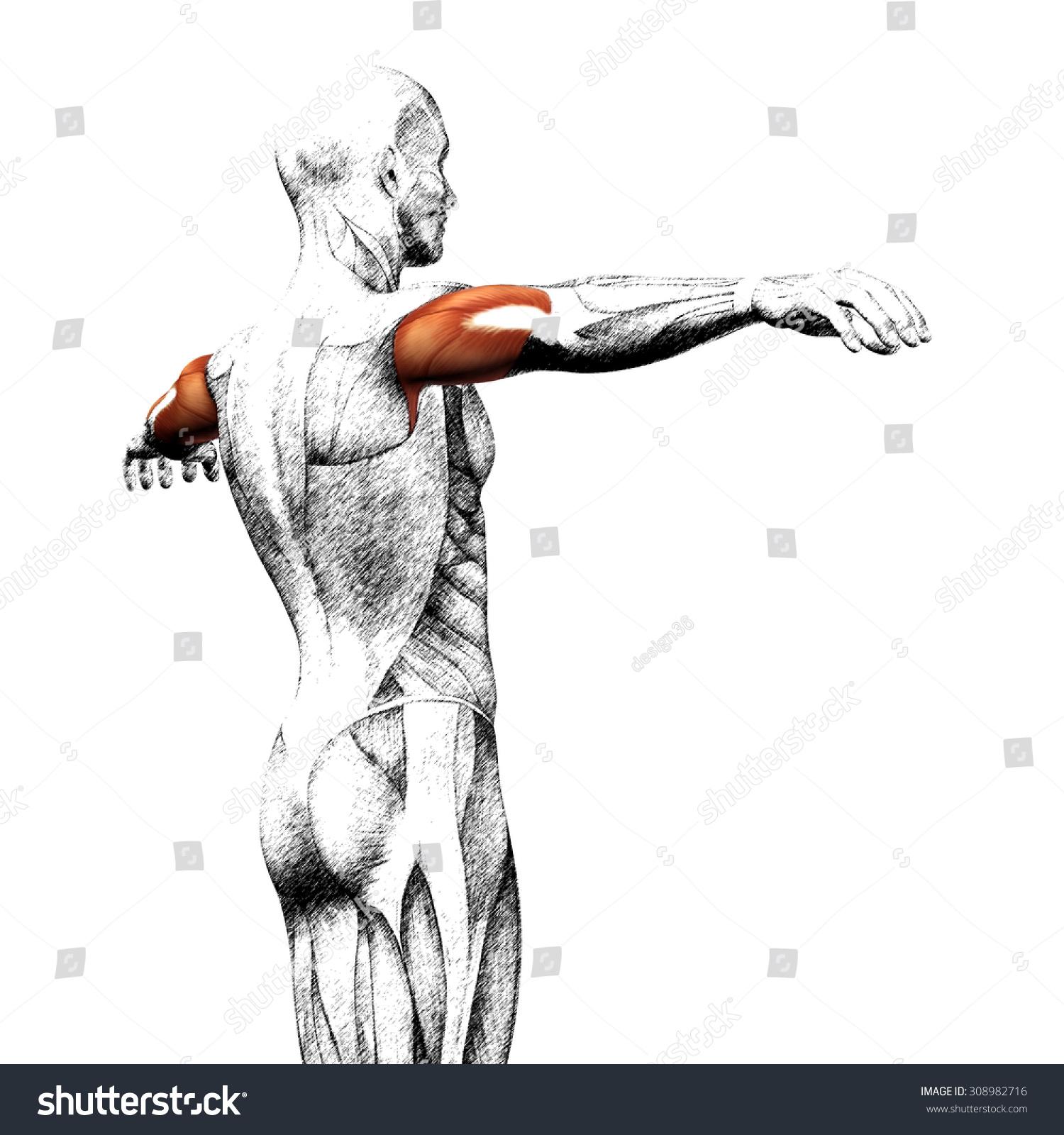 Schön Muskelanatomie Abbildungen Ideen - Anatomie Von Menschlichen ...