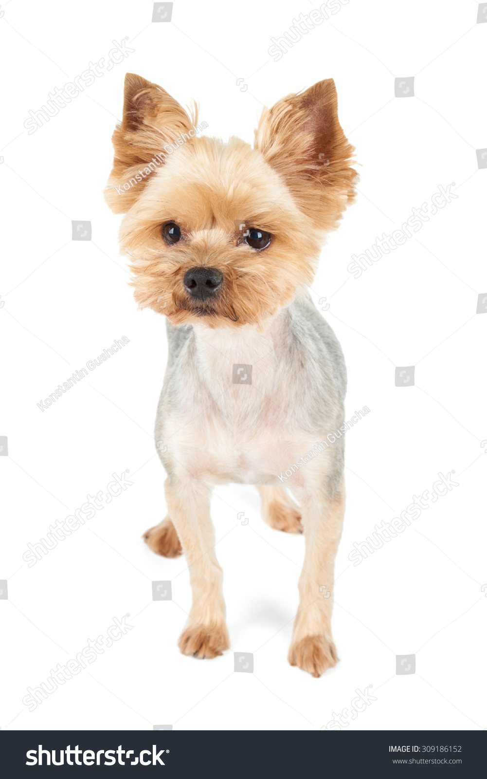 Yorkshire Terrier Short Haircut Stands Studio Stock Photo Edit Now