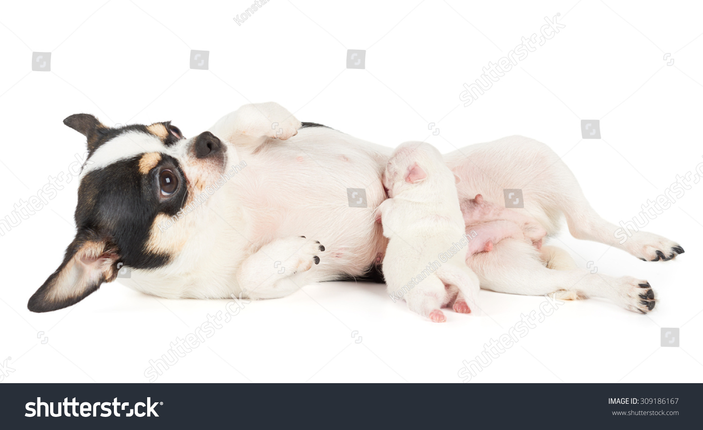 New Born Puppy Chihuahua Sucks Mothers Stock Photo ...