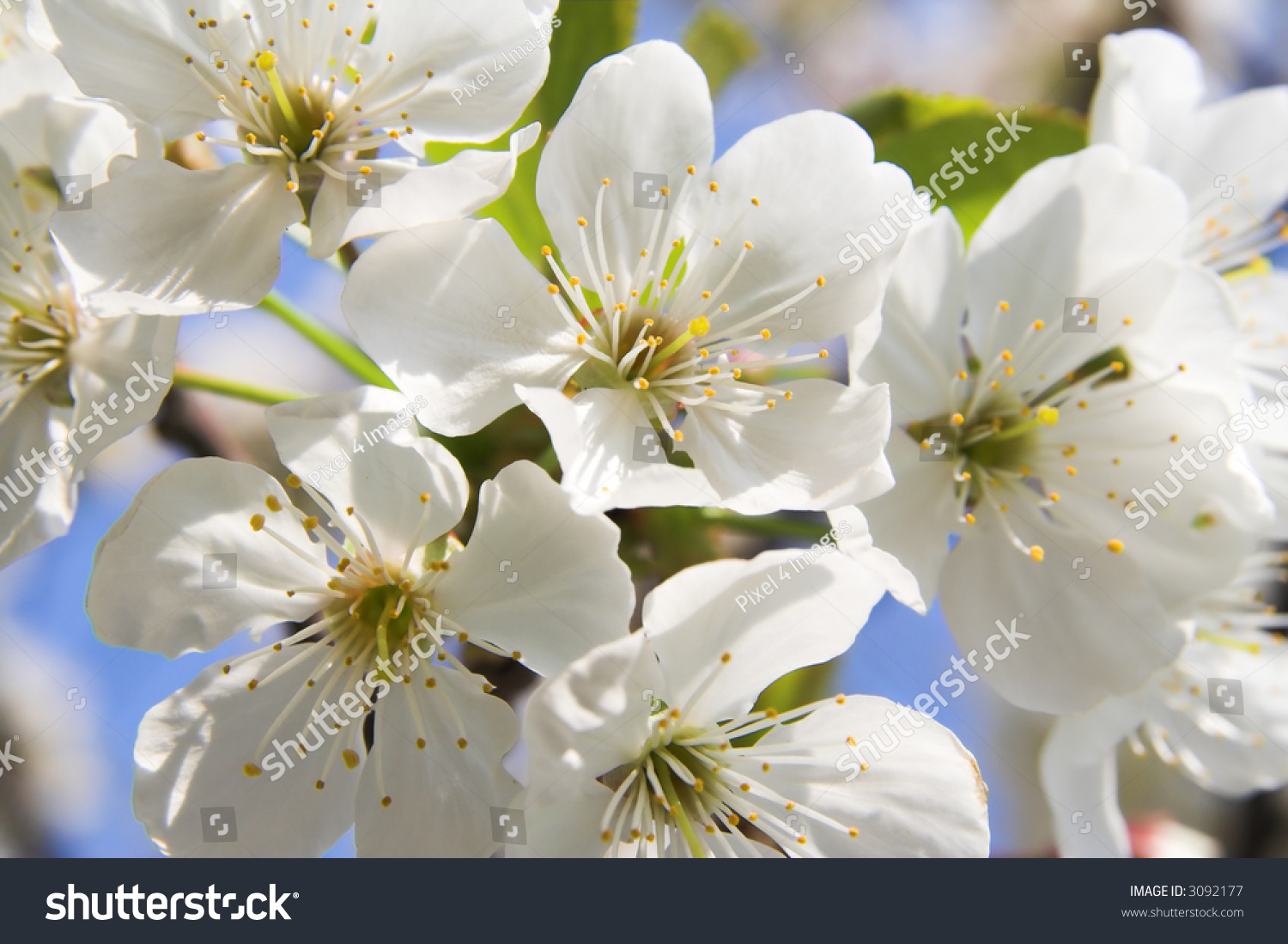 Spring Blooming Cherry Petals On A Flower Cherry Ez Canvas