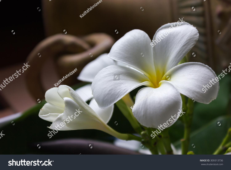 Blossom Bud White Flower Frangipani Plumeria Stock Photo Royalty