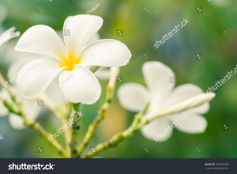 Beautiful white flower thailand lan thom stock photo edit now beautiful white flower in thailand lan thom flower izmirmasajfo