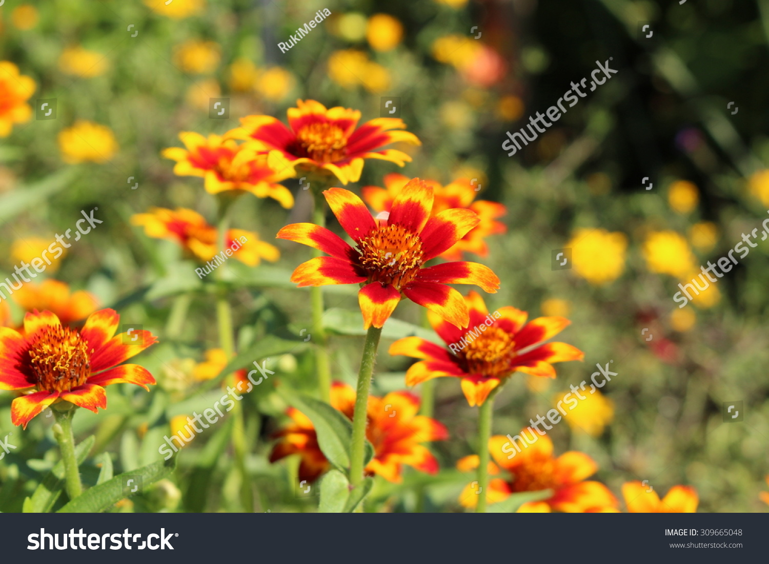 Red Orange Yellow Mexican Zinnia Flowers Stock Photo Edit Now