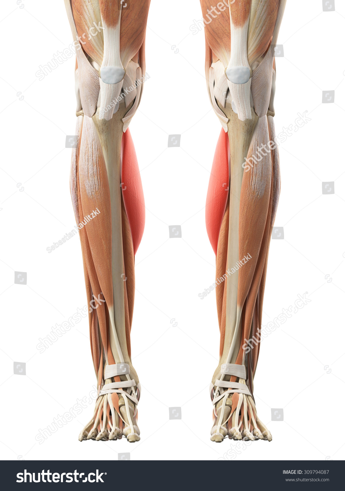Medically Accurate Illustration Gastrocnemius Medial Head Stock