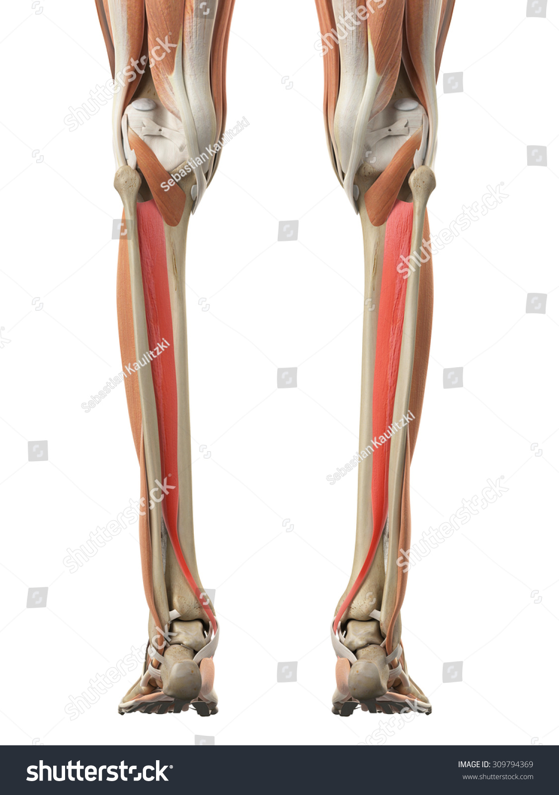 Medically Accurate Illustration Tibialis Posterior Stock ...