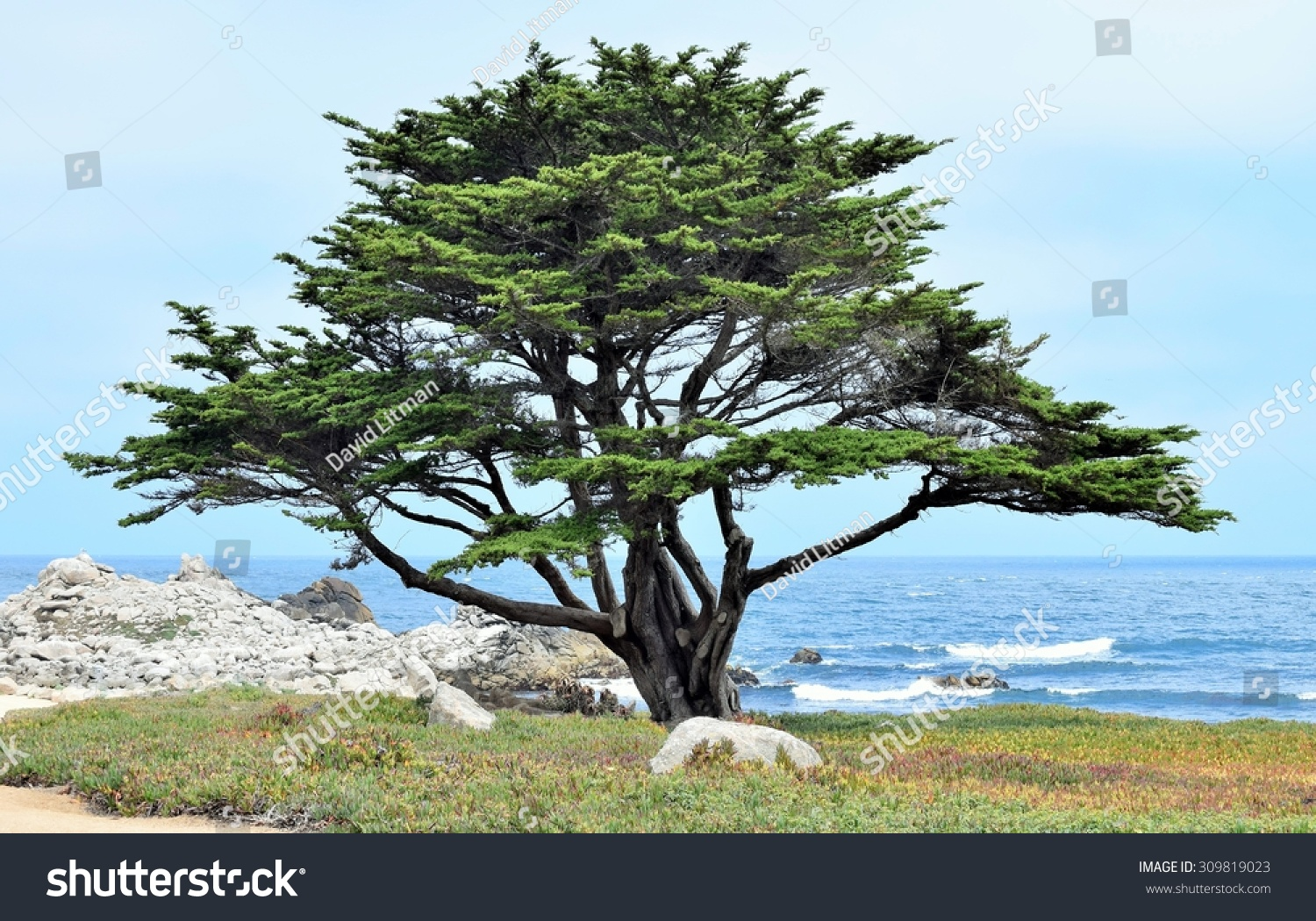 A lone Monterey Cypress tree (Cupressus macrocarpa) stands along the beach of the  rocky Pacific Coast in central California (Pacific Grove), USA