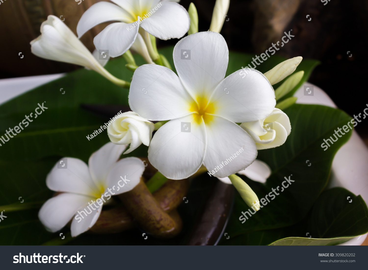 Blossom And Bud White Flower Frangipani Or Plumeria In Vintage And