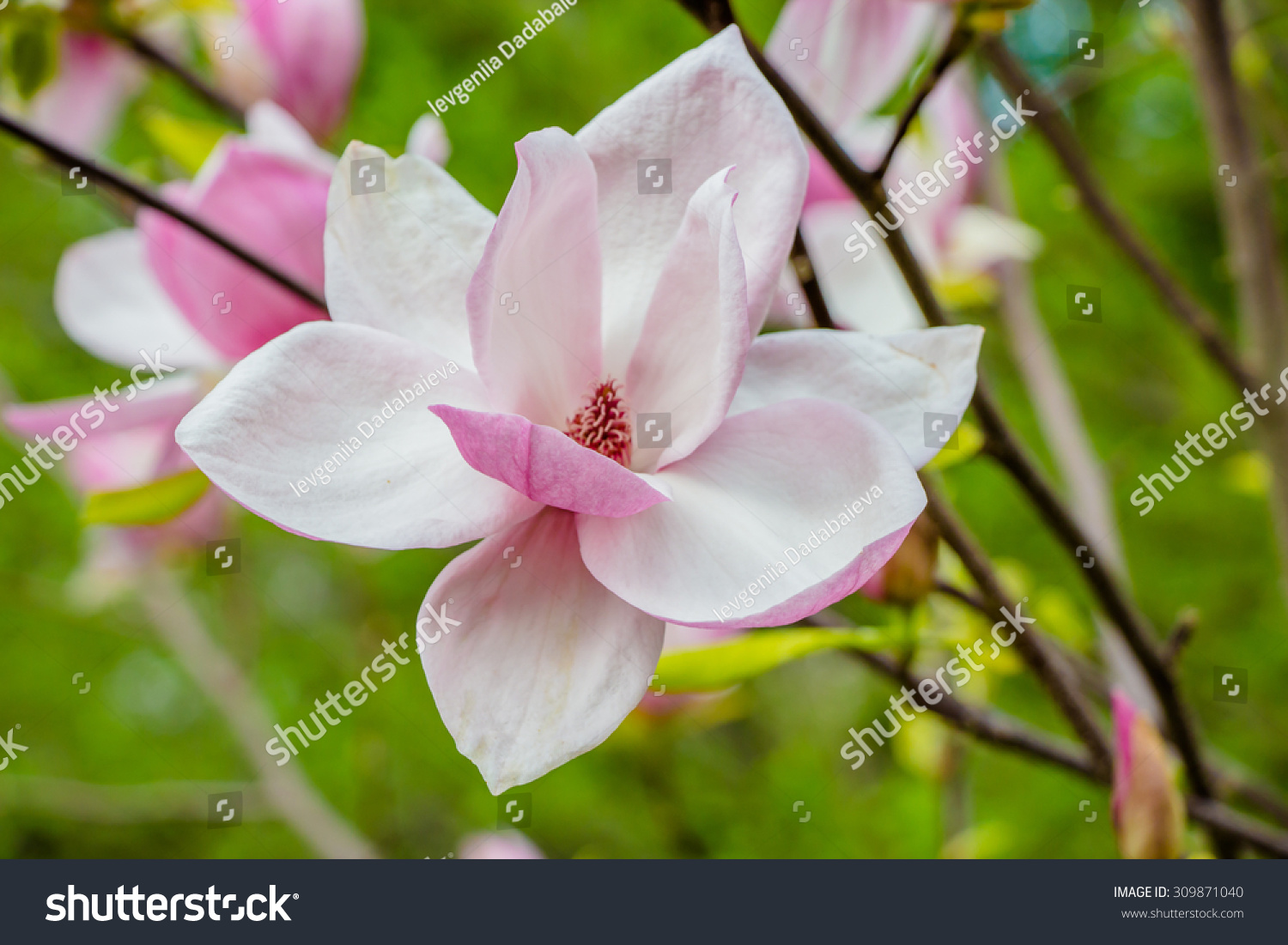 Magnolia Flowerbouquet Magnolia Stock Photo 309871040 - Shutterstock