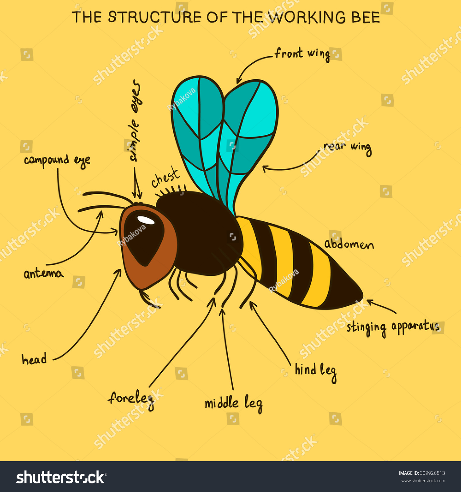 Bee anatomy poster 9658427 - follow4more.info
