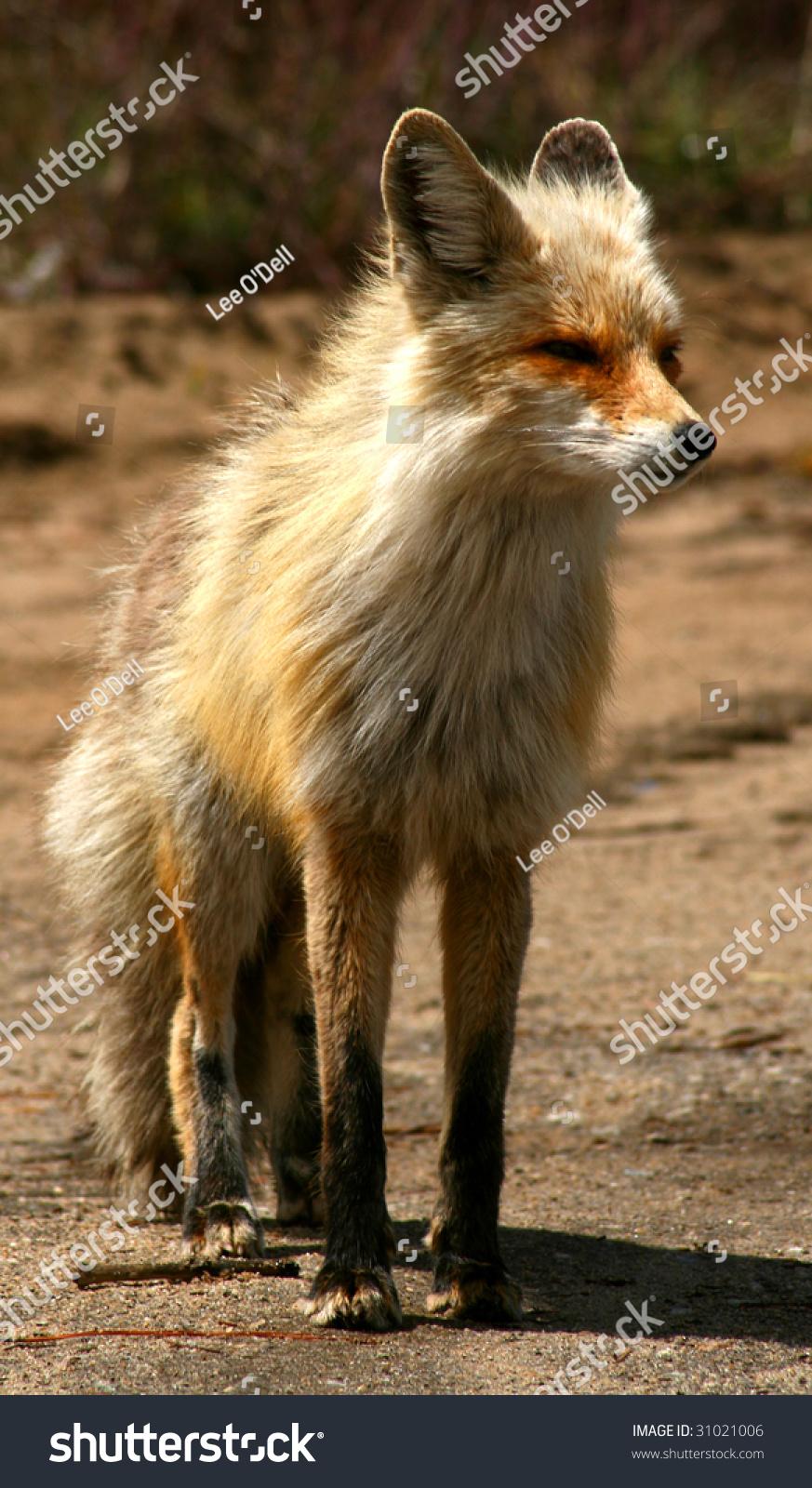 Red Fox Scruffy Spring Coat Idaho Stock Photo Edit Now 31021006