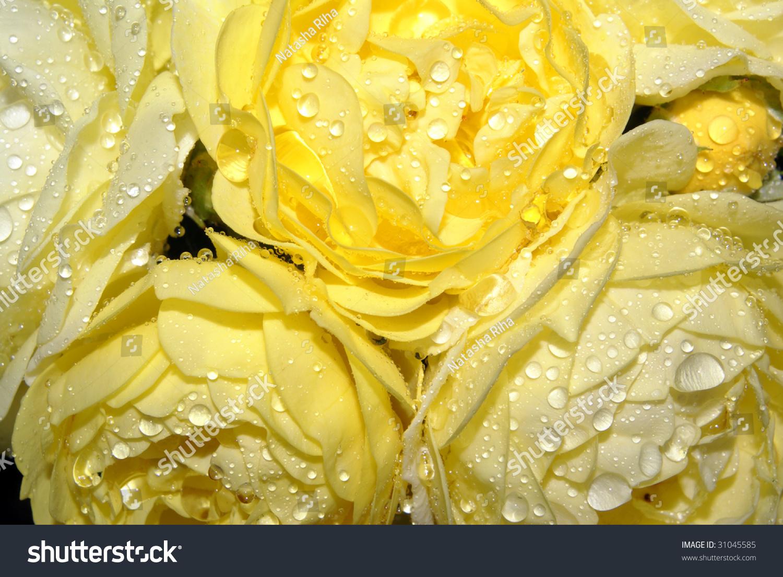 Yellow Rose With Water Drops: Closeup Beautiful Yellow Roses With Water Drops Stock