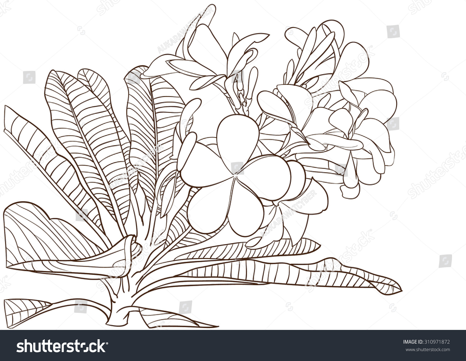 coloring pages of plumerias - photo#20