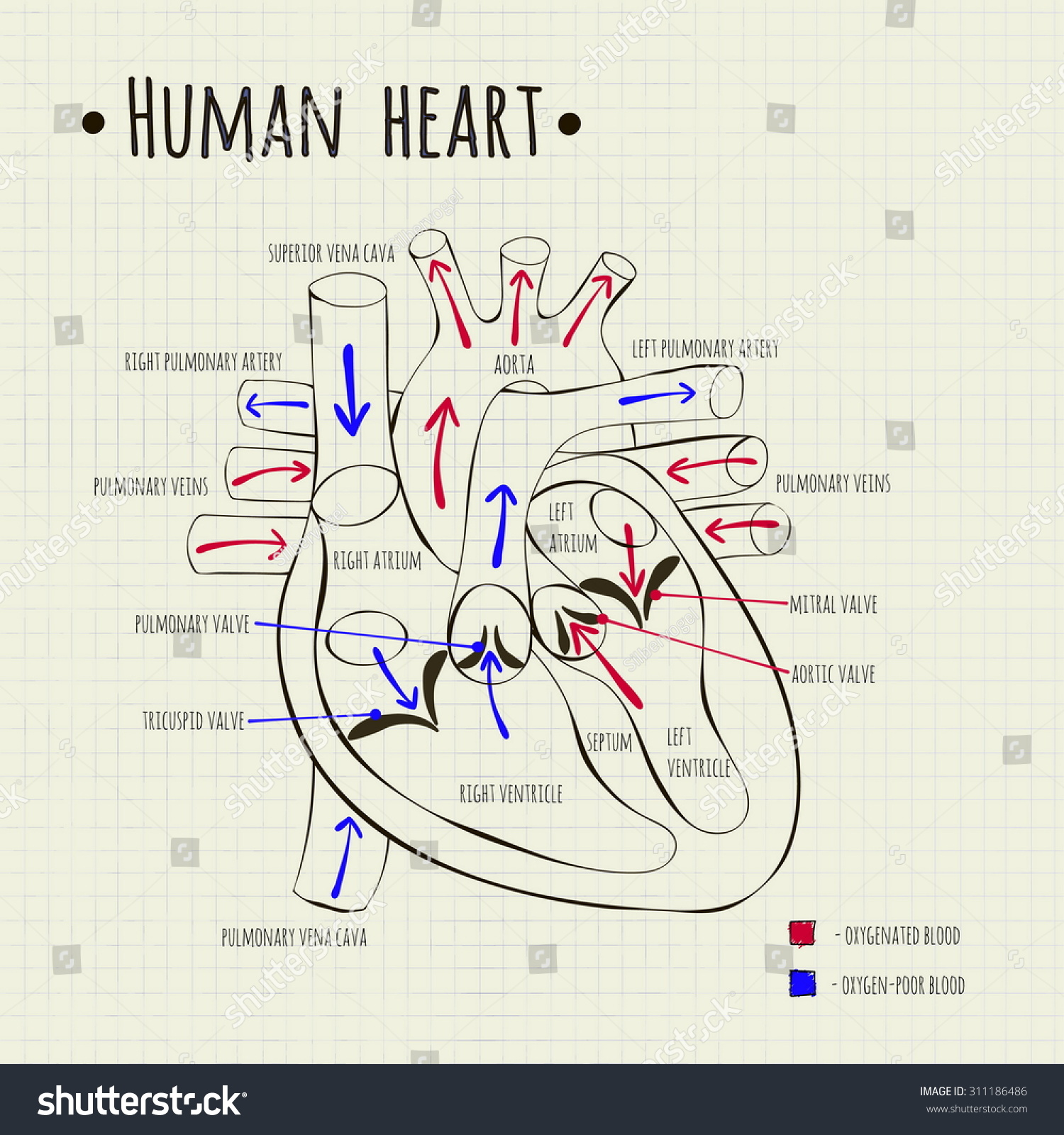 Vector Drawing Of A Human Heart Diagram - 311186486 ...