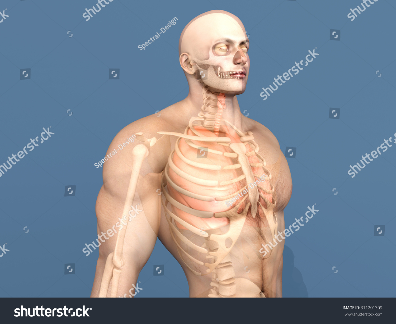 3 D Visualization Human Anatomy Internal Organs Stock Illustration