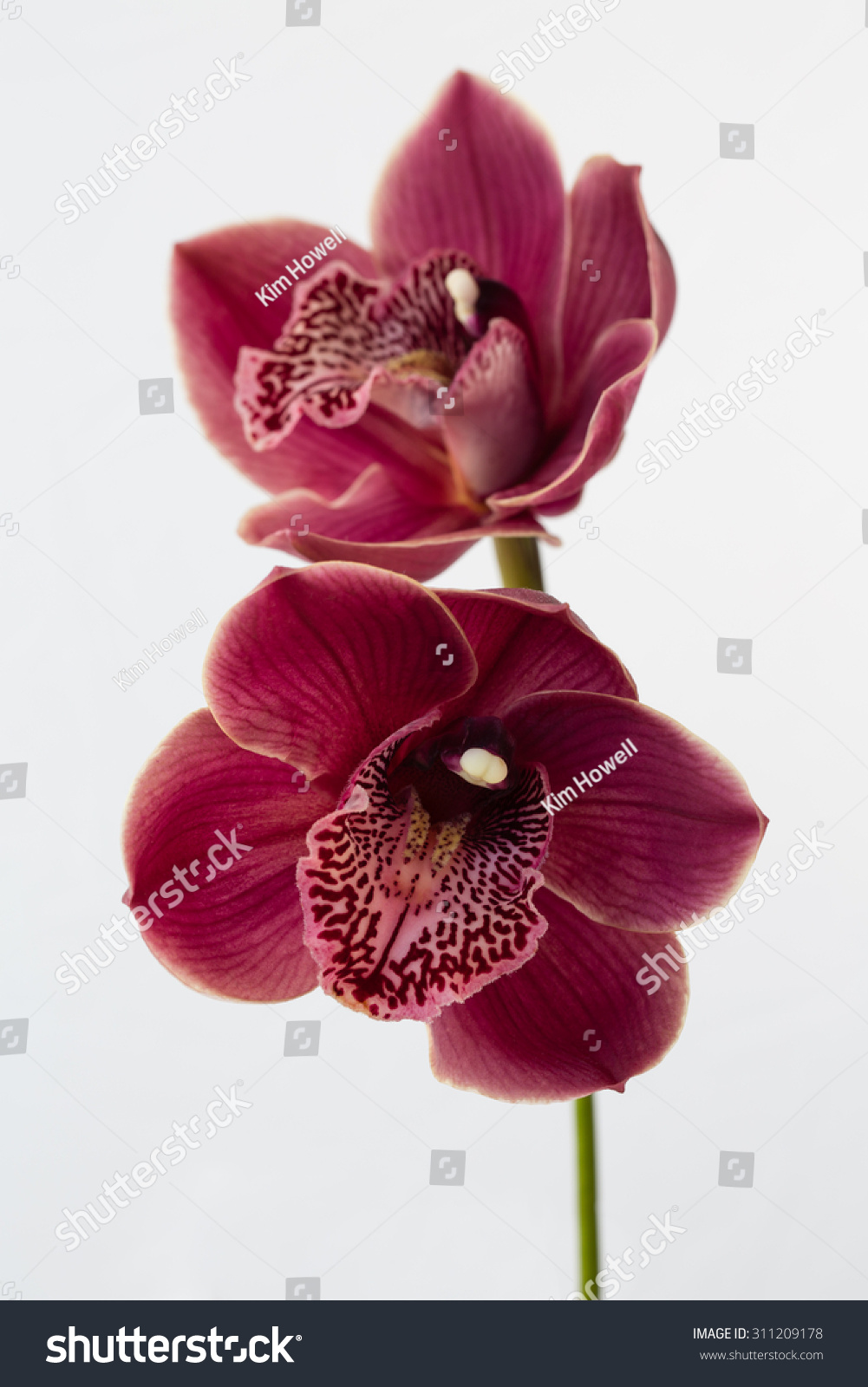 Breathtaking Deep Red Orchid Displays All Stock Photo (Edit Now ...