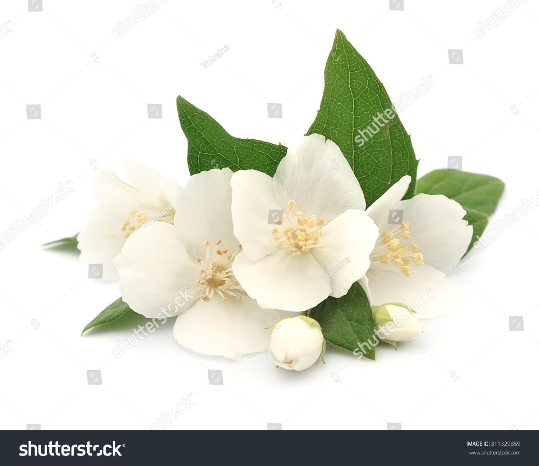 White flowers jasmine on white stock photo download now 311329859 white flowers of jasmine on the white izmirmasajfo
