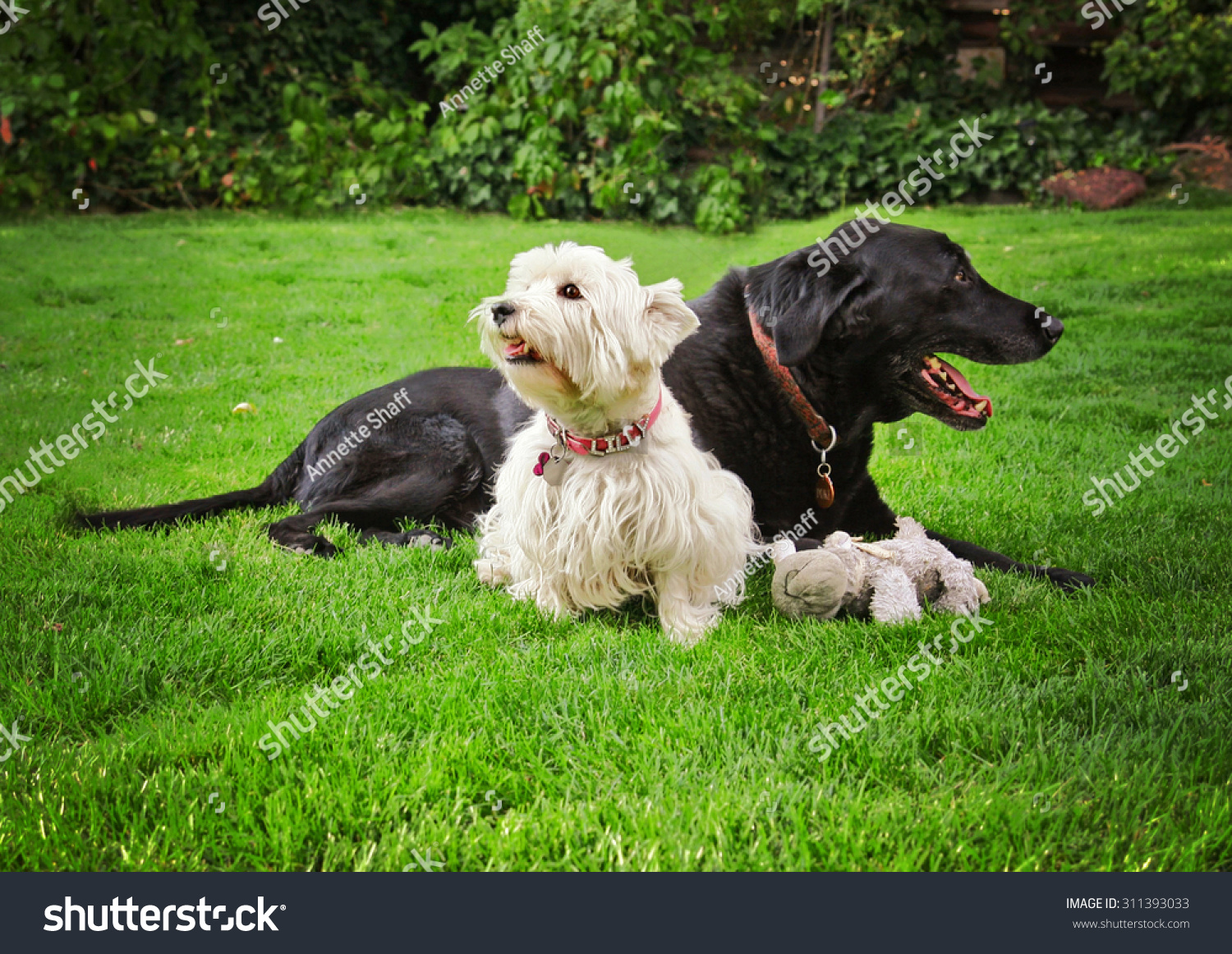 Cute West Highland Terrier Puppy Dog Stock Photo 311393033 ...
