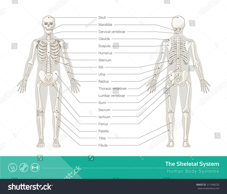 Human Skeletal System Vector Illustrations Human Stock Vektorgrafik