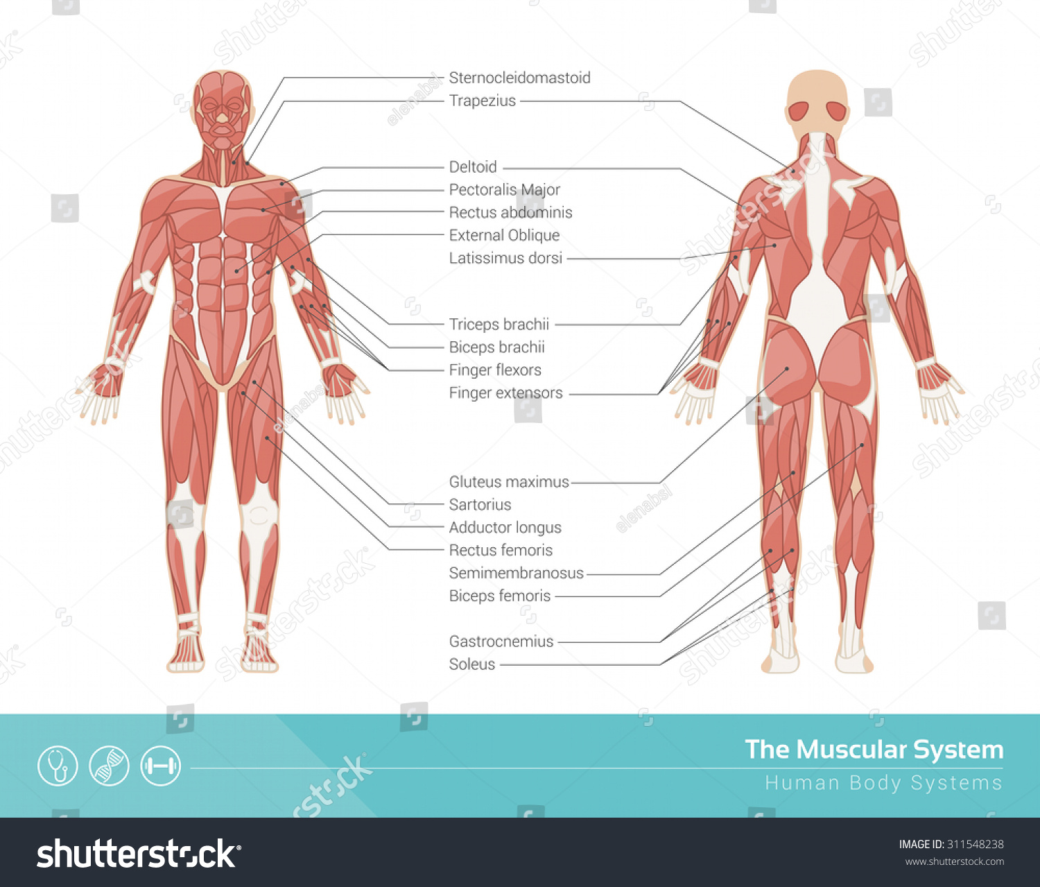 Human Muscular System Vector Illustration Front Stock Vector