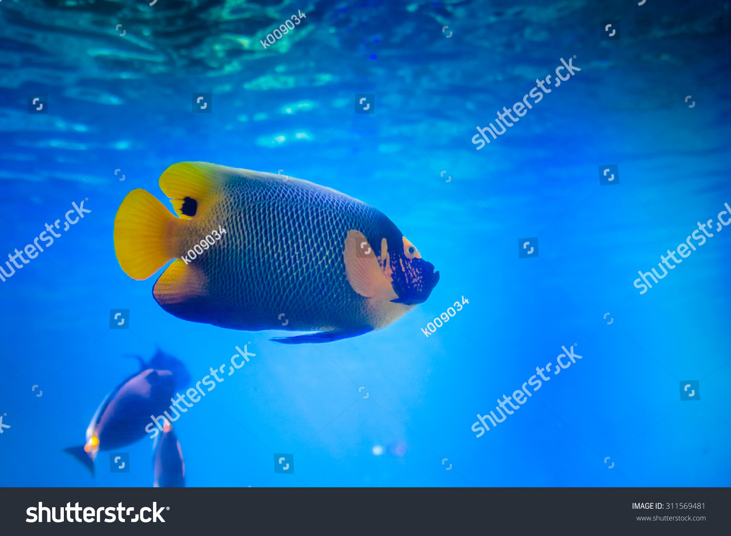 A Beautiful Fish Swimming In The Pool At The Sea World Australia Gold Coast Queensland Stock