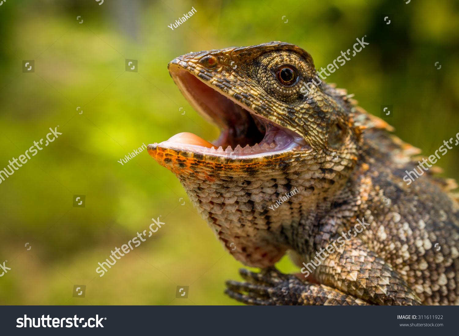 Oriental Garden Lizard Mouth Open Stock Photo (Edit Now) 311611922 ...