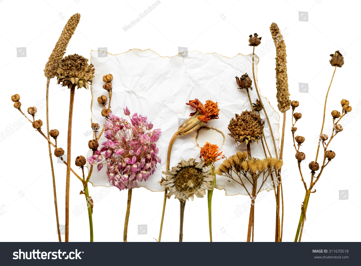 Dried Flowers On Paper Isolated On Stock Photo Edit Now 311670518