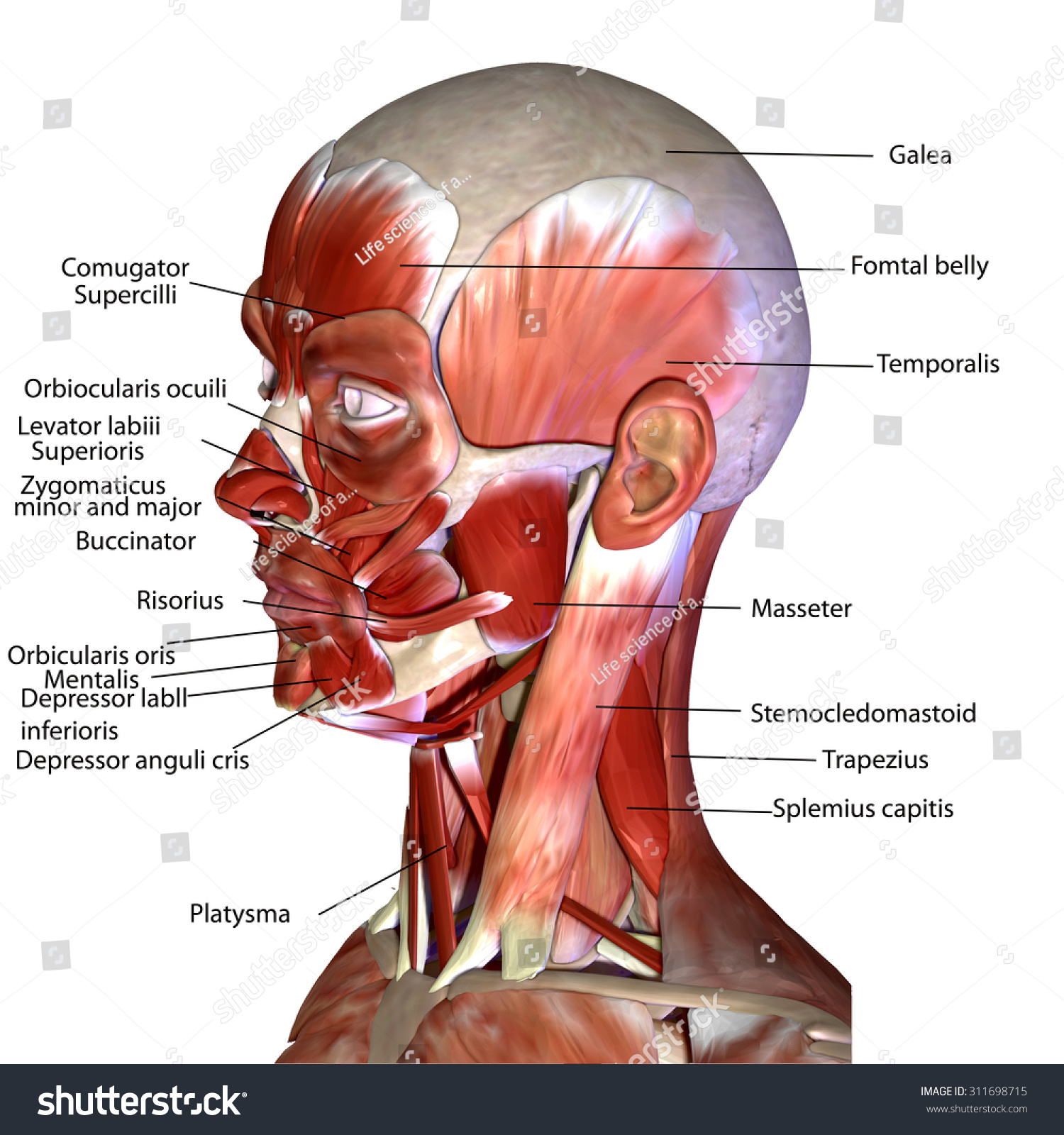 Human Face Muscles Stock Illustration 311698715 - Shutterstock