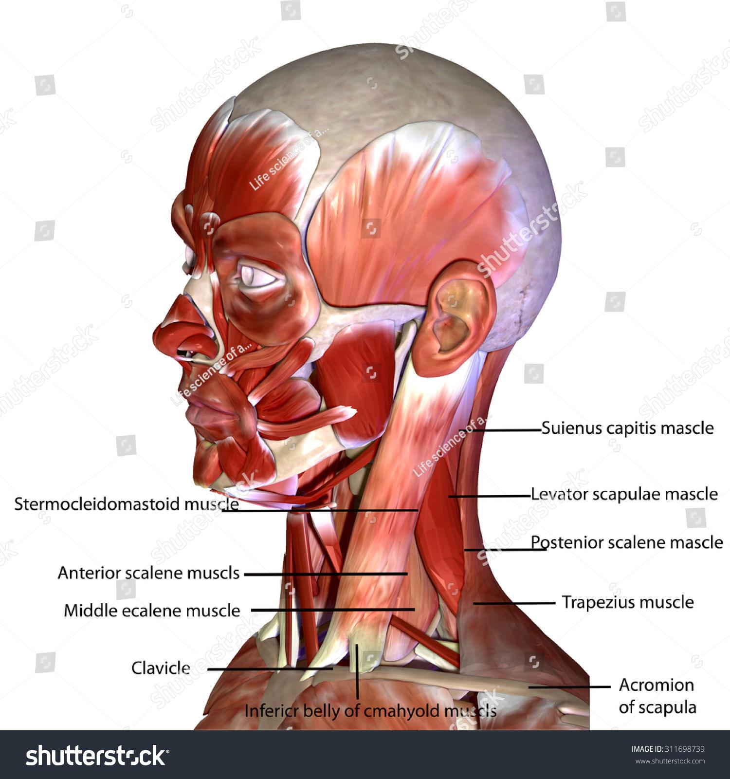 Human Face Muscles Stock Illustration 311698739 Shutterstock