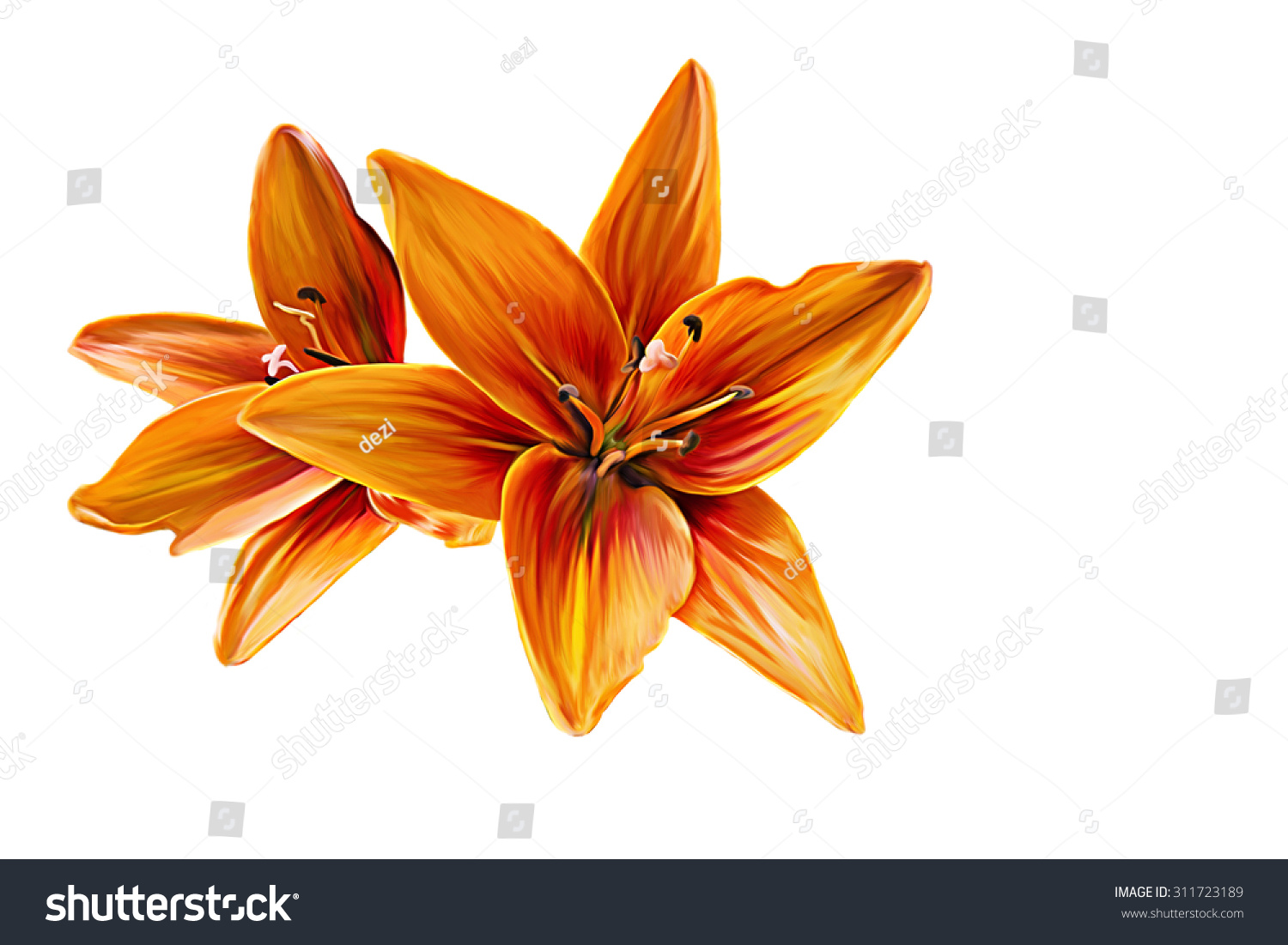 Drawing lily flower oil painting on stock illustration 311723189 drawing lily flower oil painting on a white background izmirmasajfo