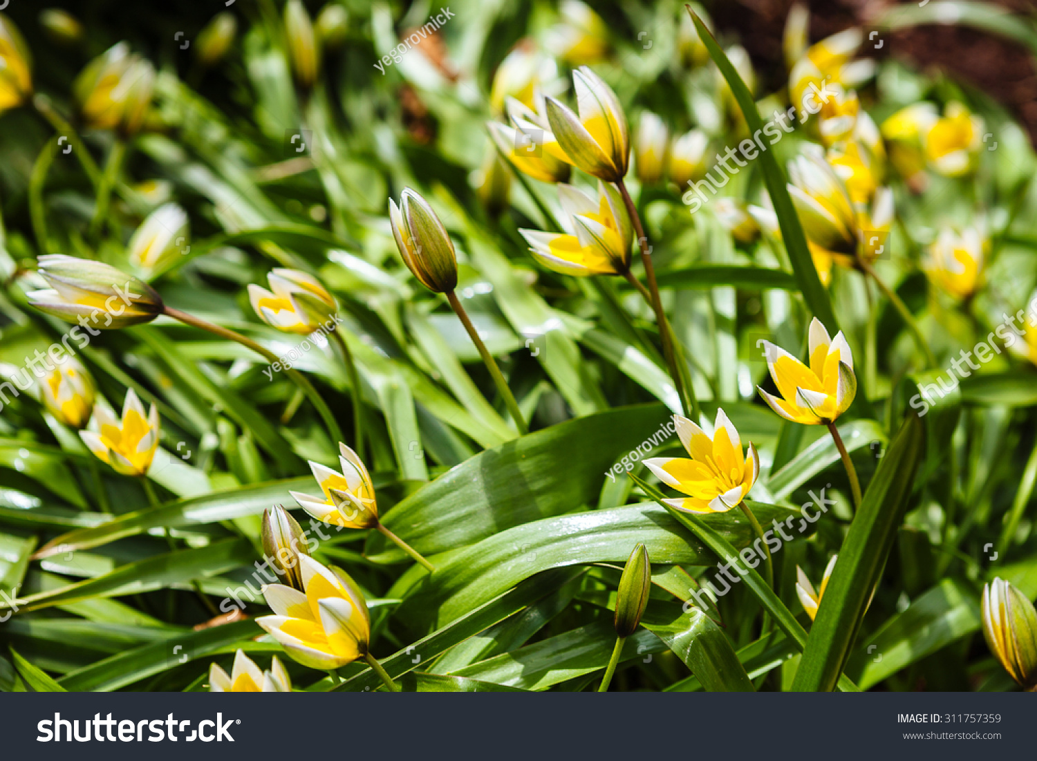 Flowers Daffodil Yellow Spring Flowering Bulb Plants In The