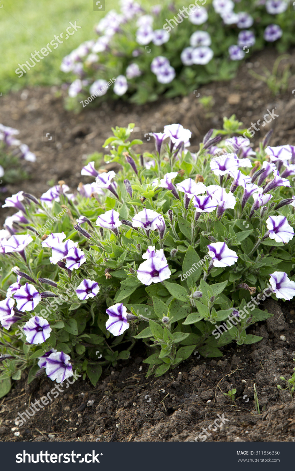 Purple White Flowers Petunia Violet Star Stock Photo Edit Now