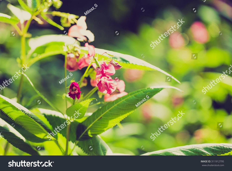 Vintage photo of beautiful wild pink flowers growing in summertime id 311912795 mightylinksfo