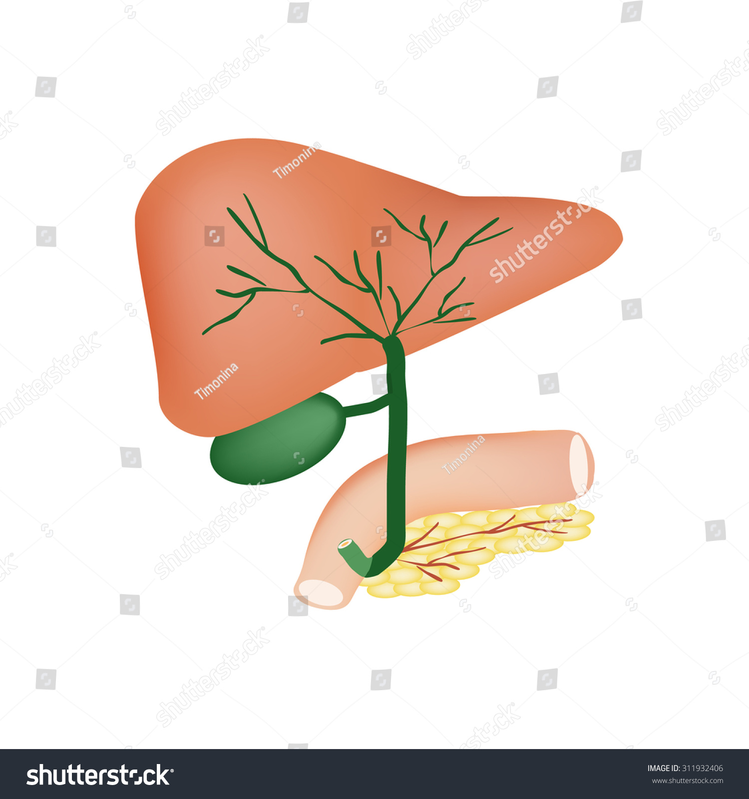 Anatomical Structure Liver Gallbladder Bile Ducts Stock Illustration