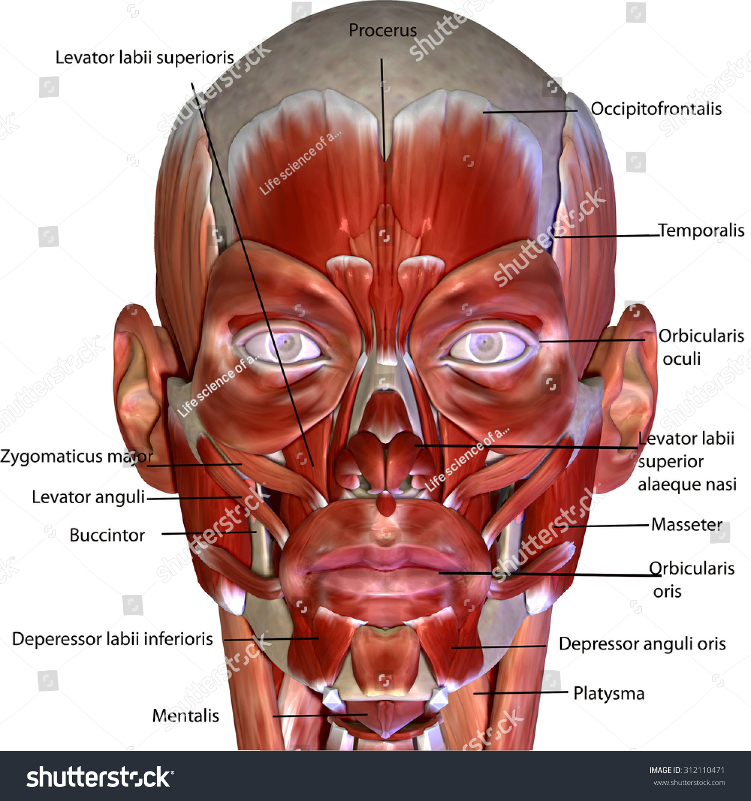 Royalty Free Stock Illustration Of Human Body Face Muscles Stock